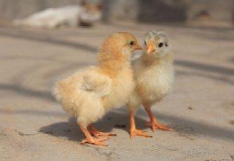 2018年11月14日养鸡市场行情如何?今日养鸡行情概述