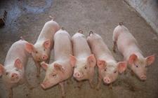 <b>什么是猪热应激?猪热应激对猪有什么影响?</b>