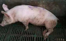 <b>猪突然瘫痪怎么办?猪突然瘫痪、倒地的原因</b>