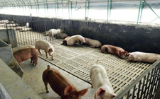 <b>安徽青阳:8000头猪场排查出非洲猪瘟疫情!</b>