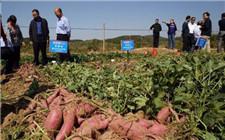 优良品种不能只留在实验室 西南大学甘薯新品种为农民创收