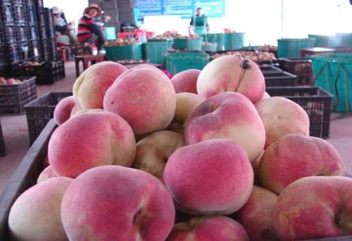 湖北襄州黄龙500万斤冬桃出现滞销 种植户急盼销路