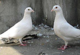 <b>乳鸽瘦小怎么办?乳鸽瘦小的原因分析及处理措施</b>