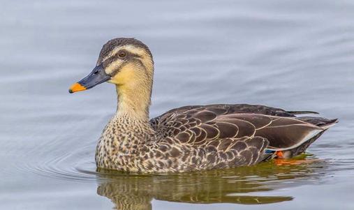 斑嘴鸭也要怎么育雏?斑嘴鸭的育雏方法