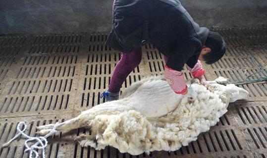 绵羊剪毛的时候要注意什么?剪羊毛的注意事项