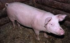 猪气喘怎么办?猪气喘病的防治技术