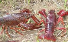 <b>怎样繁育小龙虾?小龙虾人工繁育技术</b>