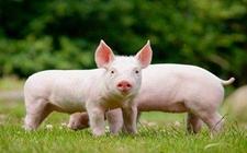 <b>湖南常宁:启动动物疫情一级响应,打响防御非洲猪瘟保卫战</b>