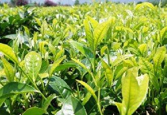 广西柳州三江县:大力发展茶产业