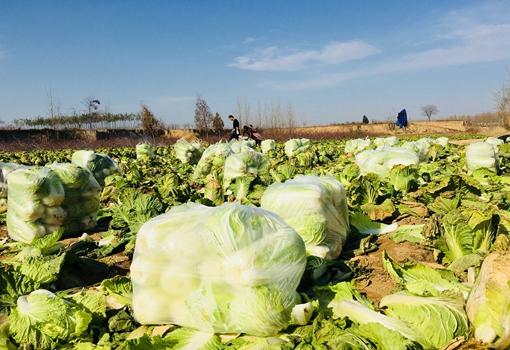 昆明晋宁菜农为白菜发愁 再卖不出去只能打碎任其烂在田里