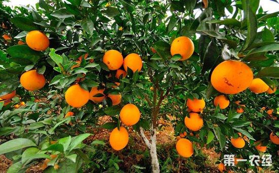 赣南脐橙进入采摘期 国产和进口橙竞争激烈