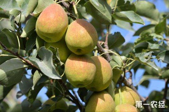 香梨怎么种?香梨的种植技术