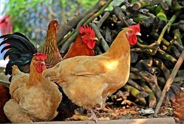 <b>散养土鸡的鸡舍要怎么建?土鸡鸡舍的建设要求</b>