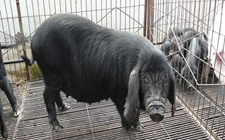 国内常见的肉猪品种有哪些?常见肉猪品种大全