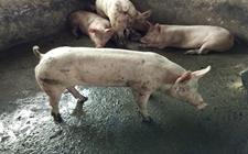 粗粮在集约化养猪中的重要作用