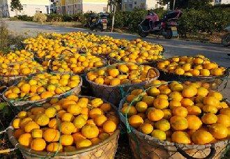 浙江宁波象山:柑橘产量再创新高 总产量达11万吨