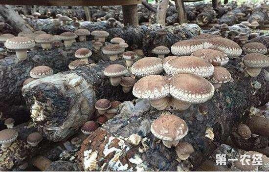 种植食用菌如何减少疾病和害虫危害