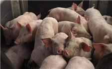 分析师预计猪价短时间内将全面上涨