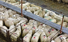 <b>什么是羊瘟?羊瘟的症状与防治</b>