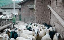 <b>圈养羊的常见疾病有哪些?大型圈养羊的常见疾病</b>