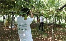 广西藤县大力发展优质百香果产业 助力乡民脱贫