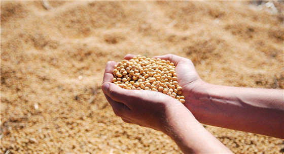 中美贸易争端致中美大豆贸易受阻 巴西大豆有望满足中国需求