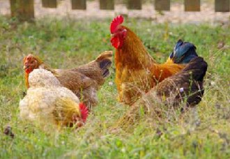 <b>鸡市价格有上涨趋势 专业人士称切勿盲目跟风养殖</b>