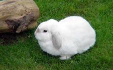 <b>兔子耳朵痒怎么办?兔子耳痒病防治技术</b>