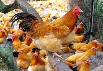 <b>肉鸡全基因组选择育种联盟 加快肉鸡产业发展</b>