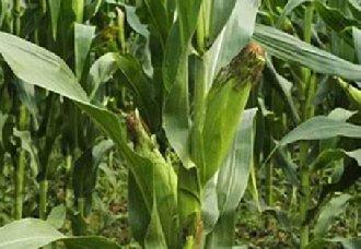 江西萍乡:4万斤滞销玉米变成爱心玉米 已认购一空
