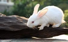 獭兔和家兔有什么区别?獭兔和家兔的习性区别