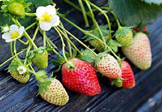 <b>草莓得了根结线虫病怎么办?草莓根结线虫病的防治方法</b>