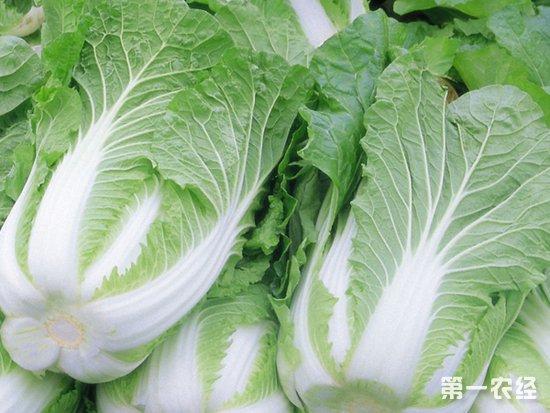 冬季蔬菜大量上市 大白菜价格降至近5年最低