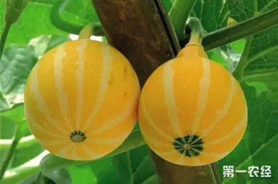 金丝瓜怎么种?金丝瓜的种植技术