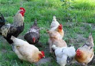 鸡舍要怎么通风?鸡舍通风的管理措施