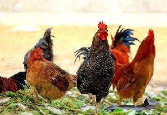 <b>云南保山腾冲发生H5N6亚型高致病性禽流感疫情</b>