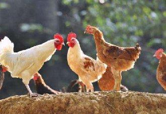 <b>鸡价大幅走高,养殖户补栏切勿盲目跟风</b>