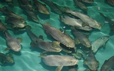怎样做好淡水石斑鱼的饲养管理?淡水石斑鱼管理技术