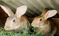 冬季家兔养殖如何防疫?家兔冬季养殖的防疫工作