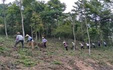 <b>安徽石台:发展林下种植,帮助贫困户走向致富</b>