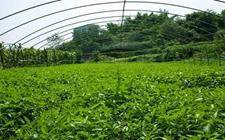 <b>宁夏六盘山区:发展蔬菜种植,帮助4万人成功脱贫</b>