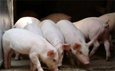 <b>秋季猪呼吸道疾病怎么治疗?</b>