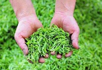湖北大杉树村:茶产业成为扶贫重点项目 让广大村民实现创收