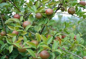 福建长汀大坑村油茶种植让荒山变绿和村民增收