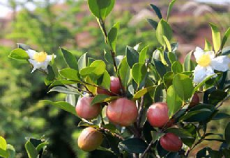 浙江湫山乡万亩油茶基地实现种养结合 提高村民经济效益