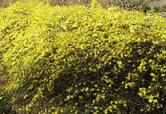 <b>迎春花常见的病虫害有哪些?迎春花常见的病虫害防治技术</b>