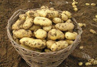 <b>马铃薯得了黑痣病怎么办?马铃薯黑痣病的病状与防治方法</b>