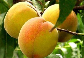 黄桃要怎么种?黄桃的种植技术