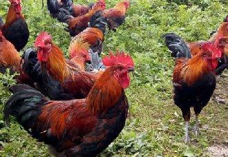 <b>蛋先生:老鸡何时淘汰?春节淘鸡价格未必高</b>