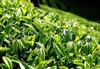 为加快茶产业绿色发展 云南提出10条意见